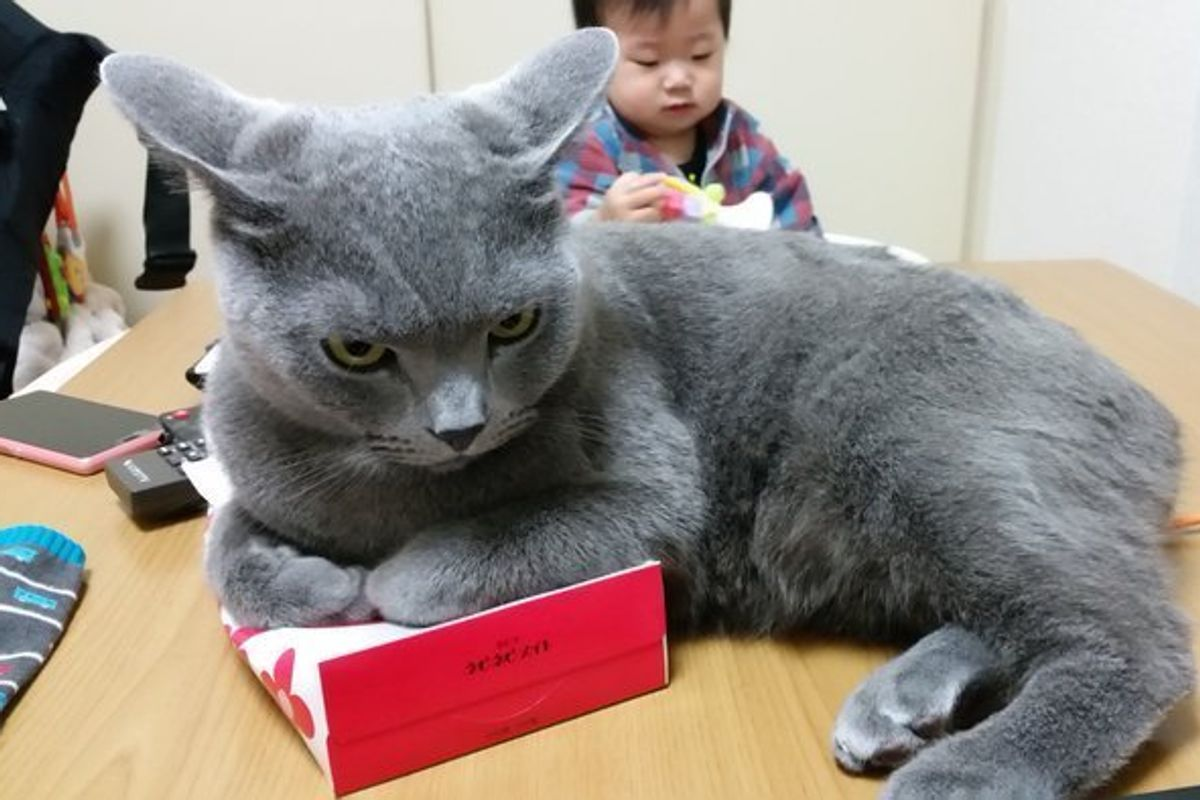 blue cat obsessed with tissue box lying on top