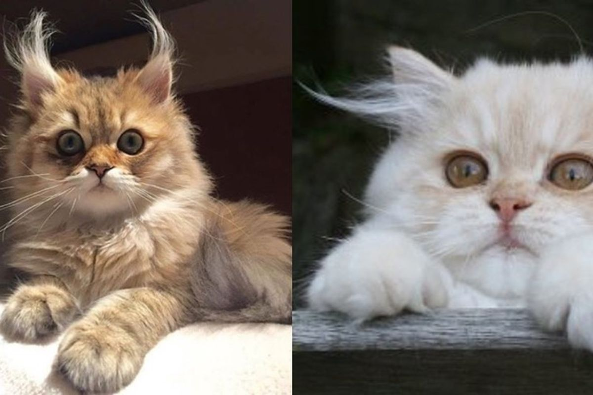 cats with crazy ear tufts