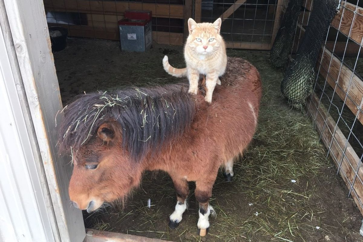 farm ginger cat rides farm animals growing up