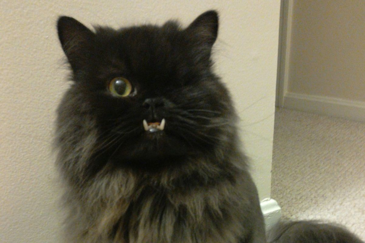 Cat with an Underbite and a Wink is Saved by Vet from Death Row