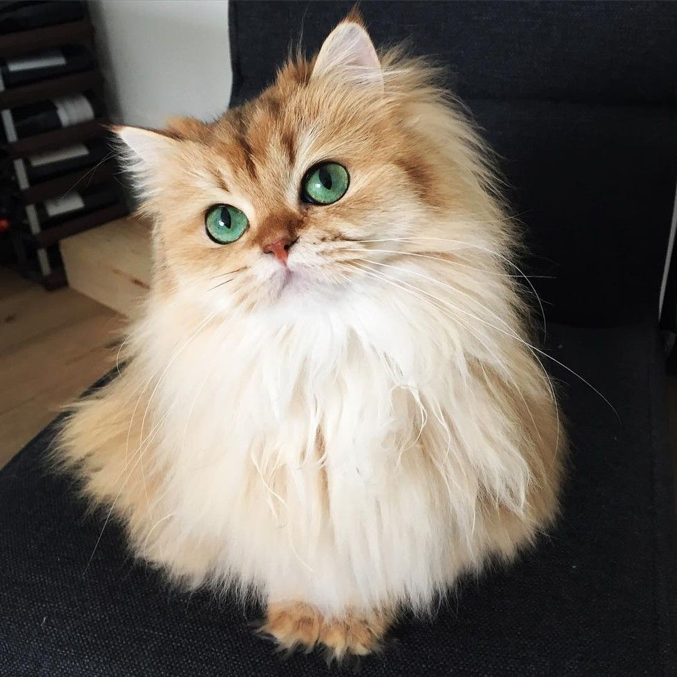 This Magnificently Fluffy Cat Looks Part Fox - Love Meow
