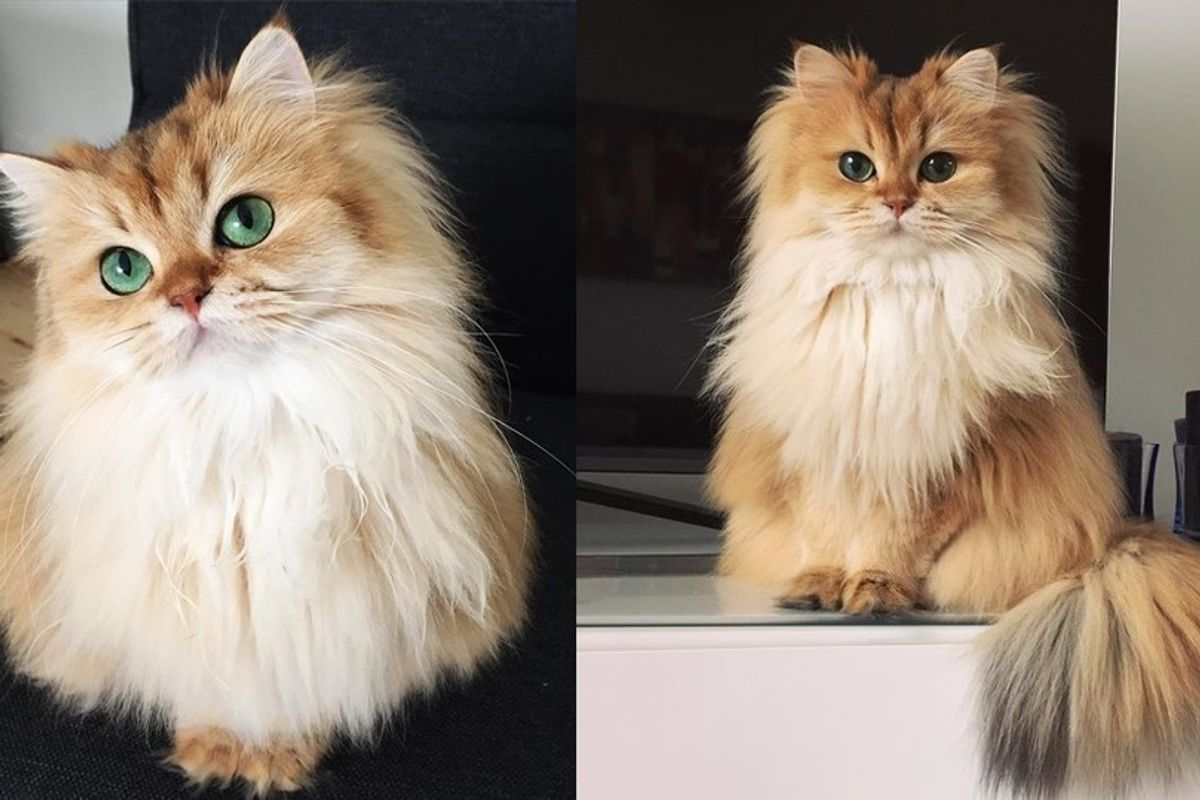 This Magnificently Fluffy Cat Looks Part Fox