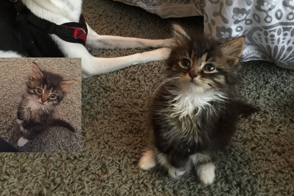 Kitten Stands Like a Kangaroo, Will Meow Her Way into Your Heart