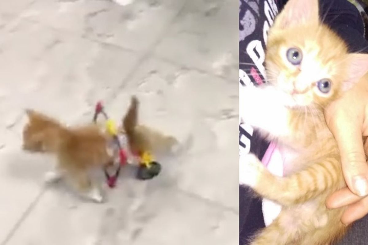 The Joy When Rescue Kitten Runs in His New Wheelchair