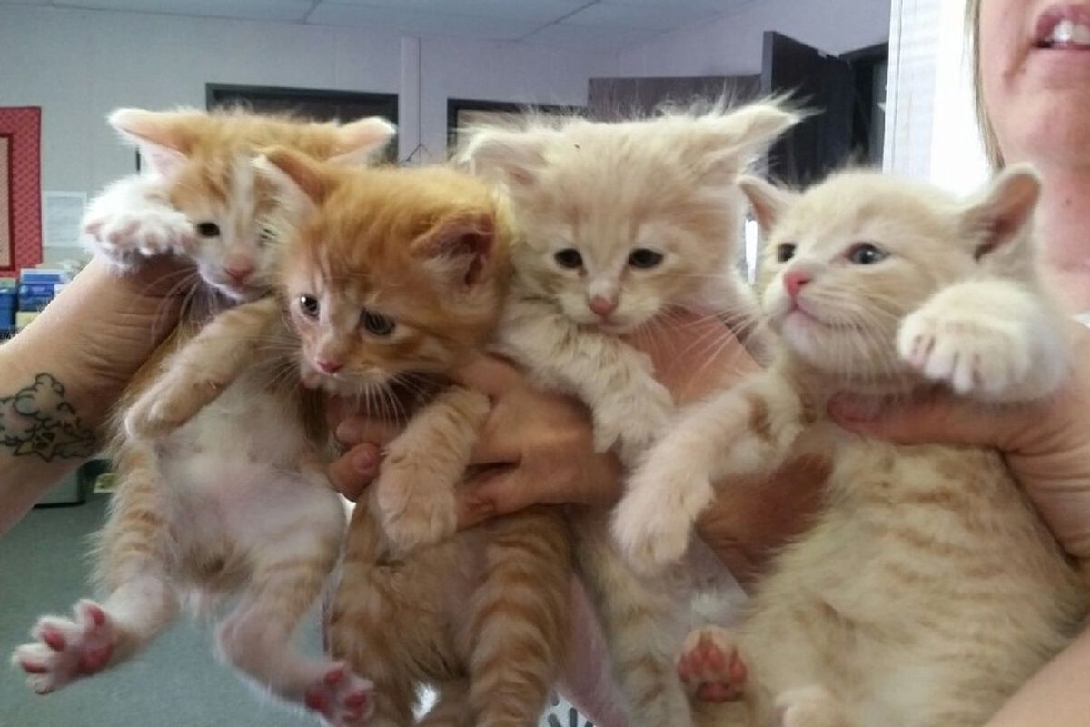 Four Rescue Ginger Brothers, Three Born without a Tail