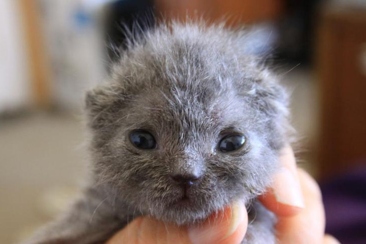 Tiny Blue Kitty Given A Fighting Chance