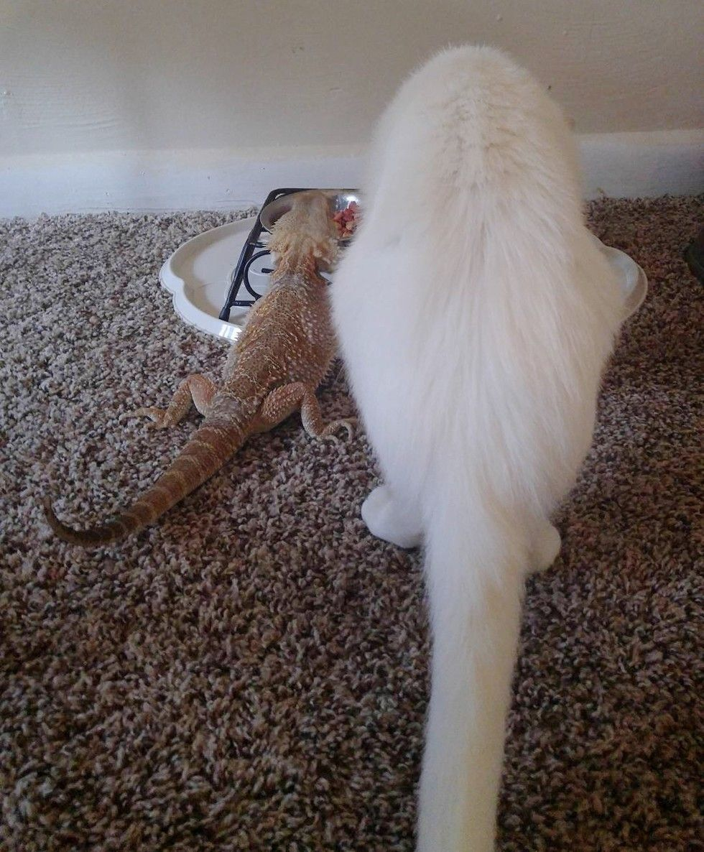 cat bearded dragon unlikely interspecies friendship