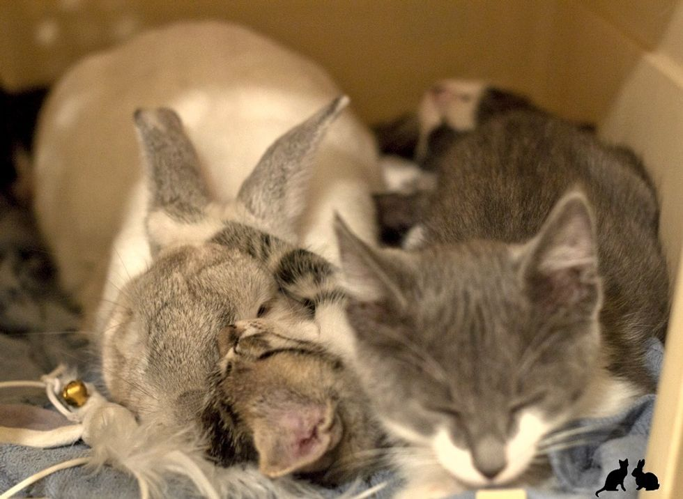 rescue kittens and bunny rabbit dad