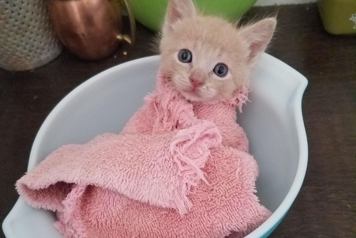 Tiny Orphan Kitten Getting Weighed in a Purrito