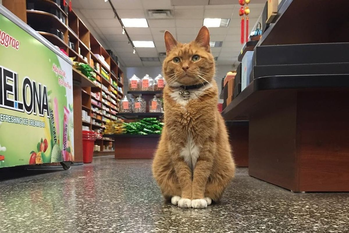 Ginger Cat Runs a Store for 9 Years and Has Never Taken a Day Off