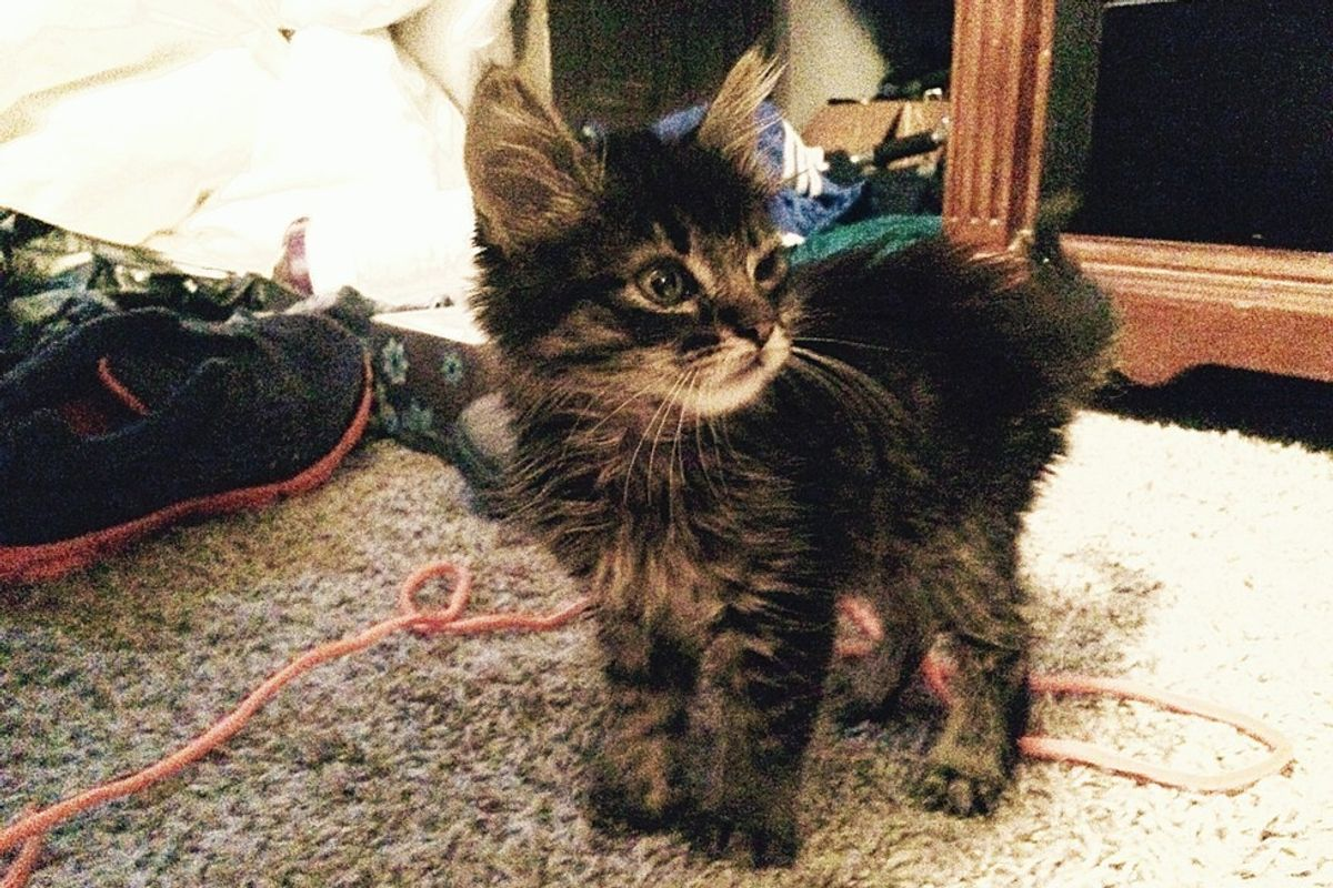 Kitten Found with Nothing to Eat But Beetles Now Guards His Forever Humans from Bugs