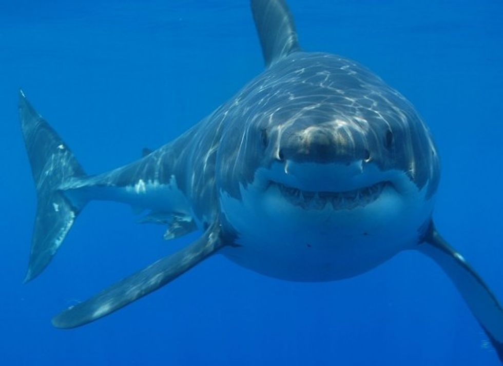 Fisheries Threaten Endangered Shark Species