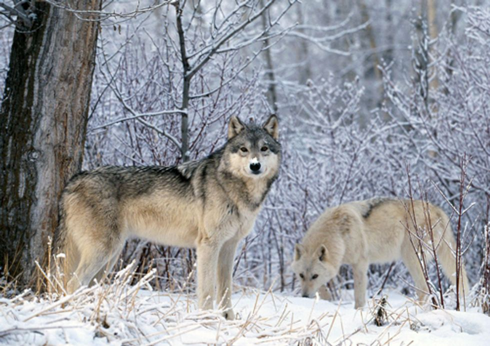 Defend Protections for Wolves