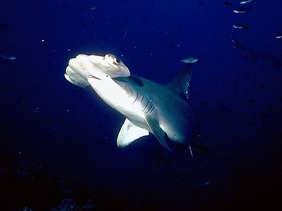 Federal Protection Will Be Considered for Hammerhead Sharks