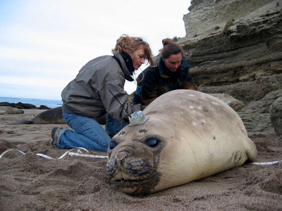 Tracked Elephant Seal Yields Vital Information
