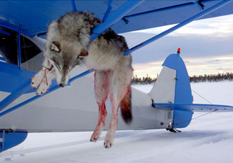 Take Action to Help Alaska's Wolves