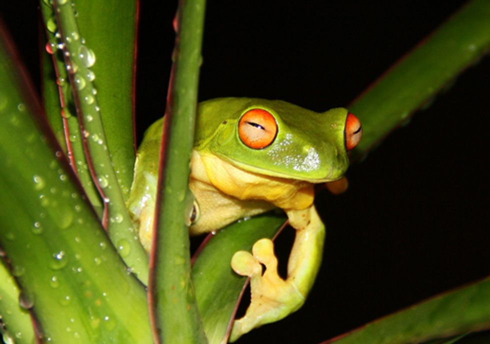 San Francisco Mayor Gives Endangered Frogs the Death Sentence