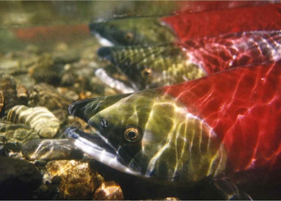 Last Day to Act for Northwest Salmon