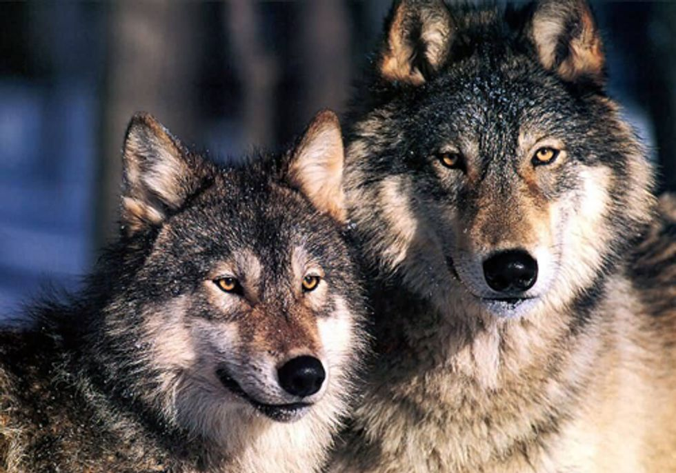 States Continue to Undervalue Wolves