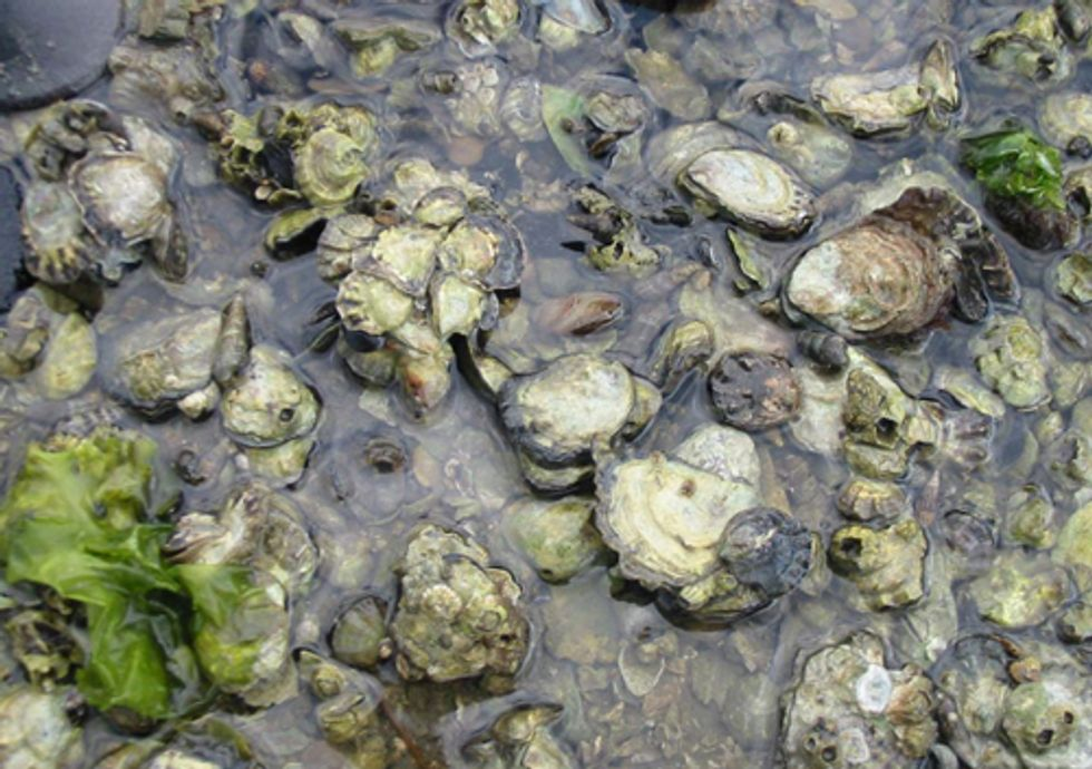 Ocean Acidification Threatens Puget Sound