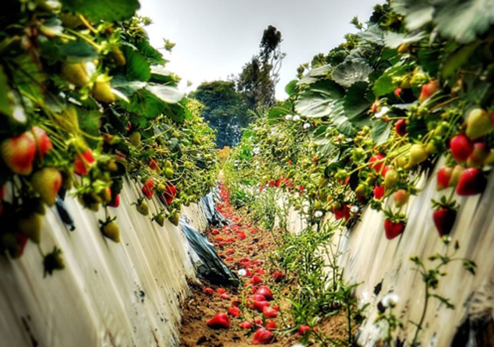 Toxic Strawberry Pesticide on Trial