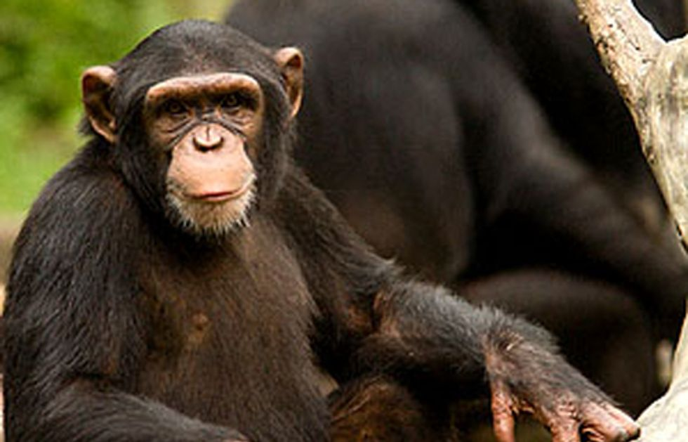 Help Close a Deadly Loophole to Protect Chimpanzees