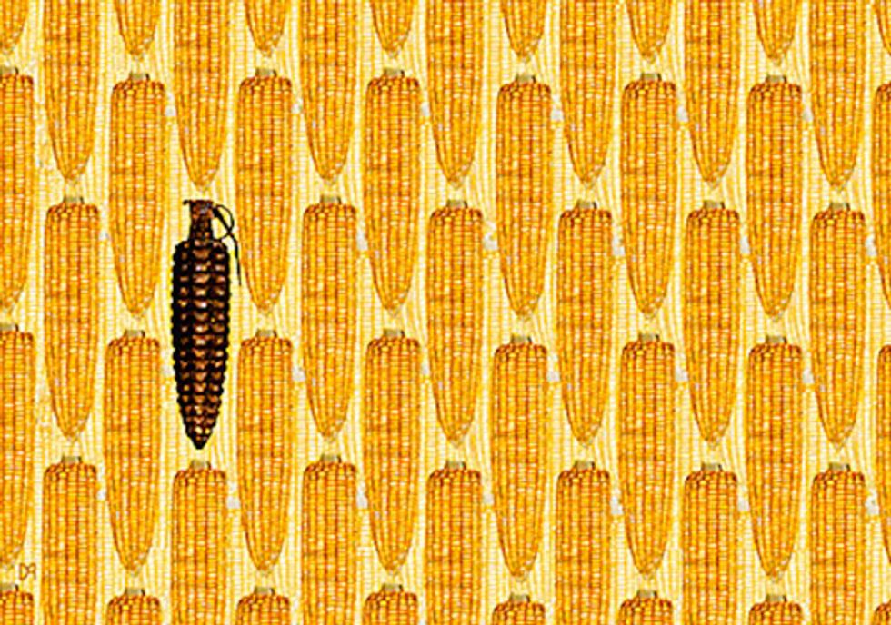 GMO Corn's Looming Disaster