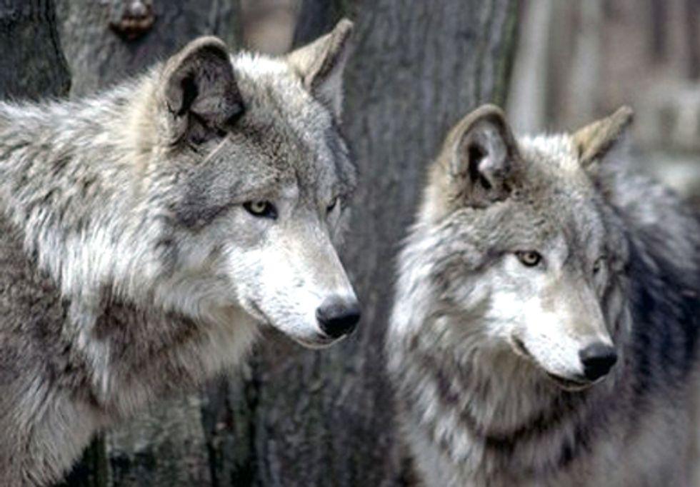 Canadian Officials Poison Wolves for Tar Sands Development