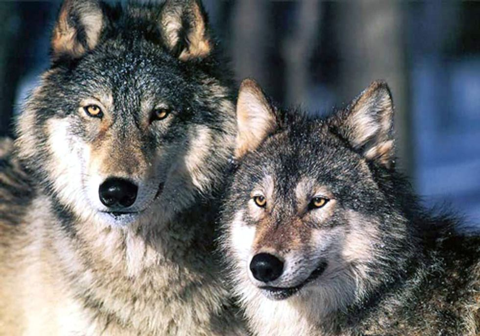 ACTION: Help Stop Tar Sands Wolf Kills