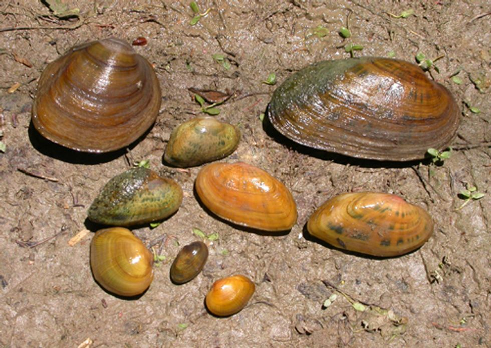 Two Freshwater Mussels Listed as Endangered Species