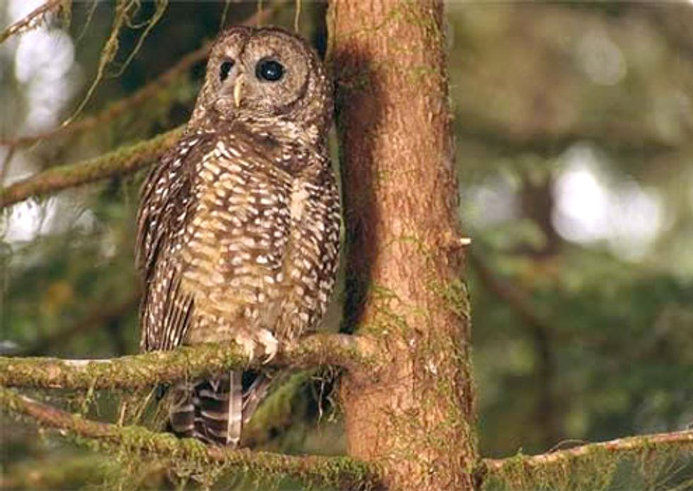 Logging Threatens to Eliminate Spotted Owls of British Columbia