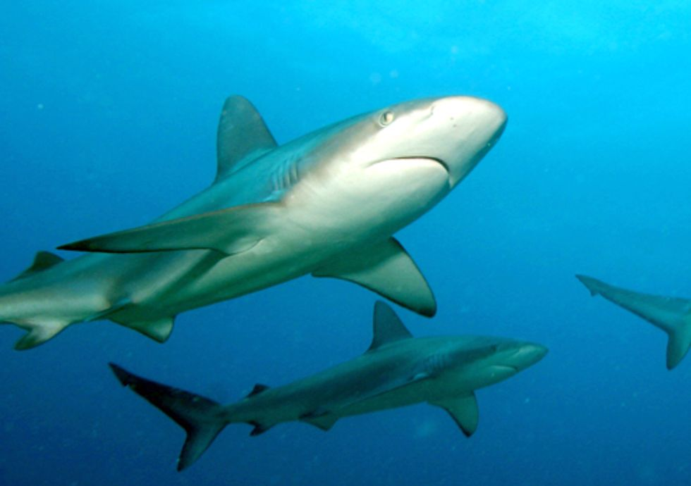 Illinois Lawmakers Take Historic Steps to Protect Sharks