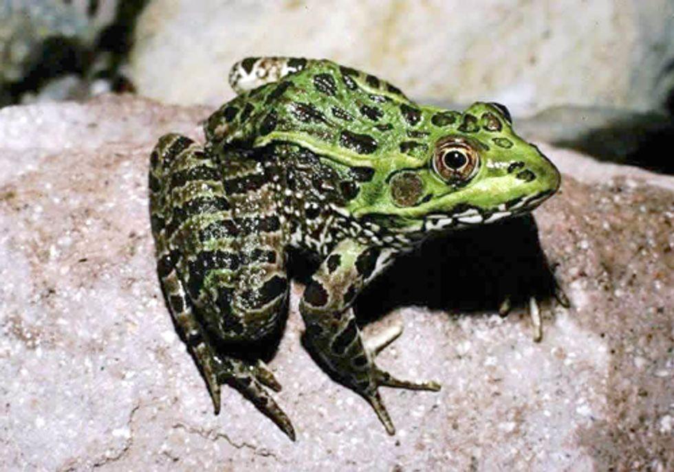 Critical Habitat Designated for Threatened Chiricahua Leopard Frog