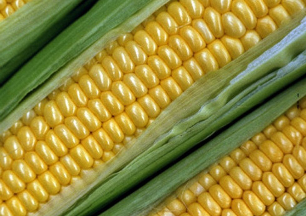 Scientists Find Significant Flaws in GE Corn Tied to Accelerated Resistance