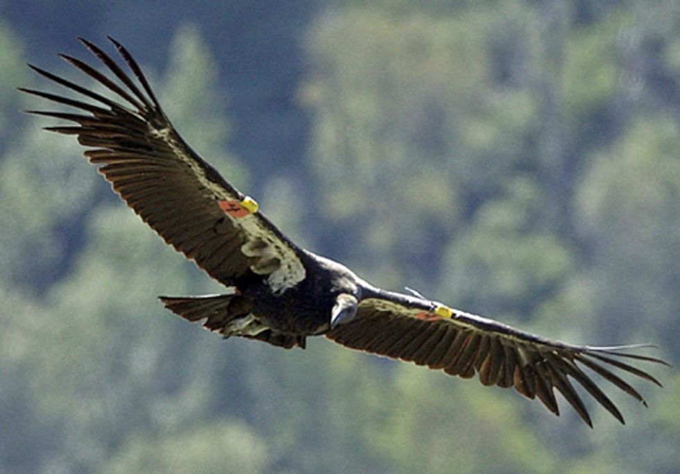 Controversial Wind Project Endangers California Condors and Golden Eagles