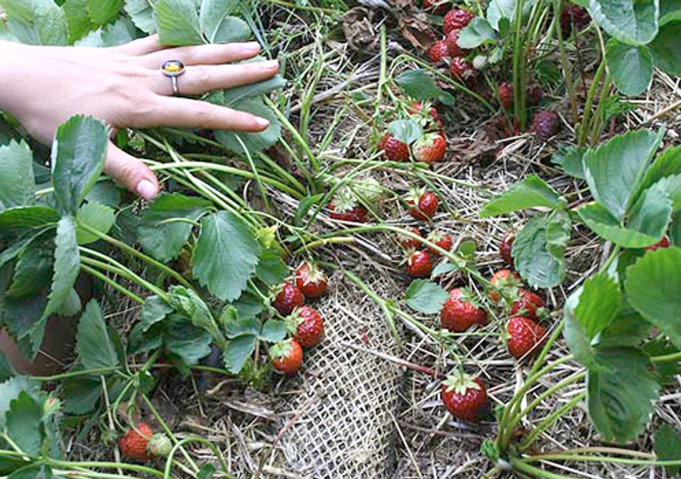 State Announces New Efforts for Safe Strawberry Farming
