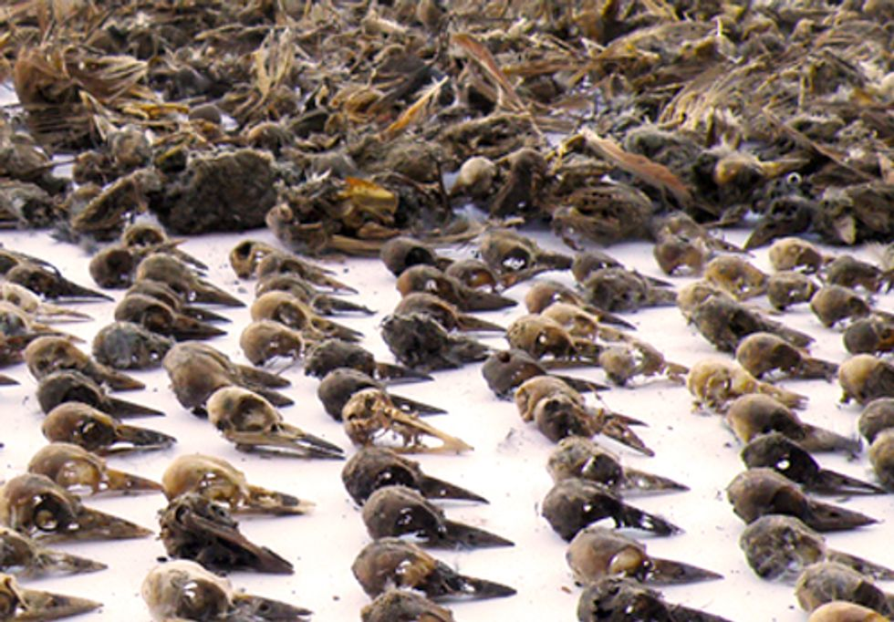 Bureau of Land Management Finds Widespread Bird Deaths from PVC Pipes