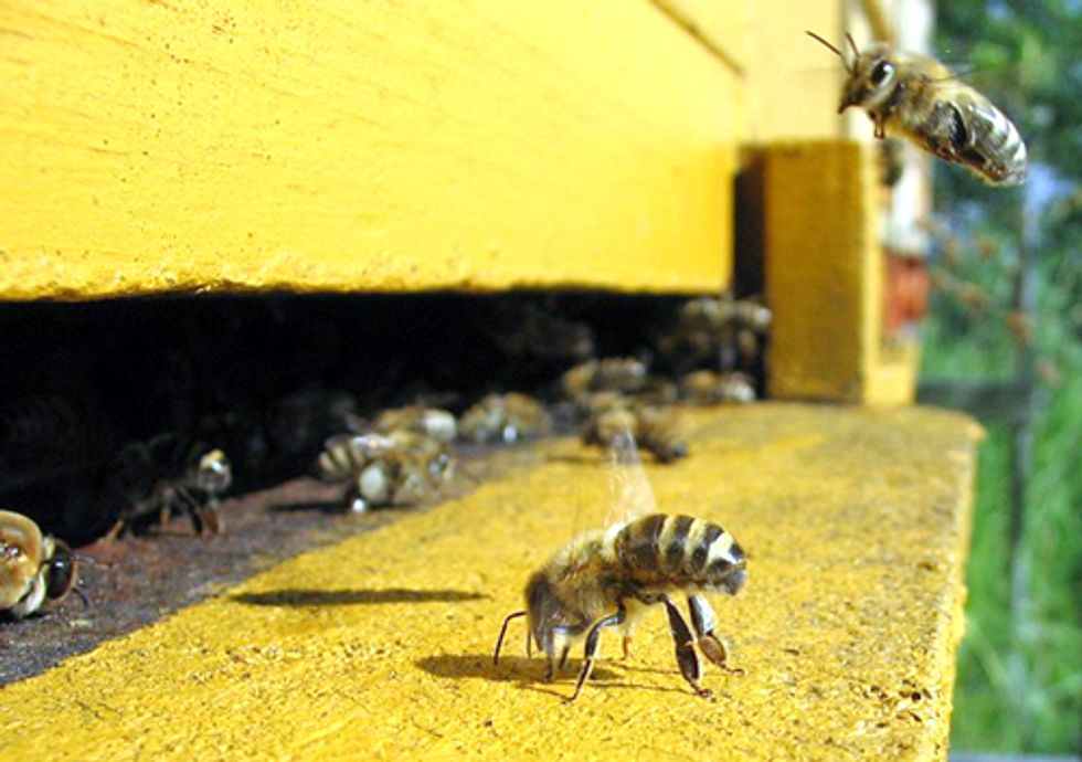 Report: 'Weight of Evidence' Links Pesticides to Colony Collapse Disorder