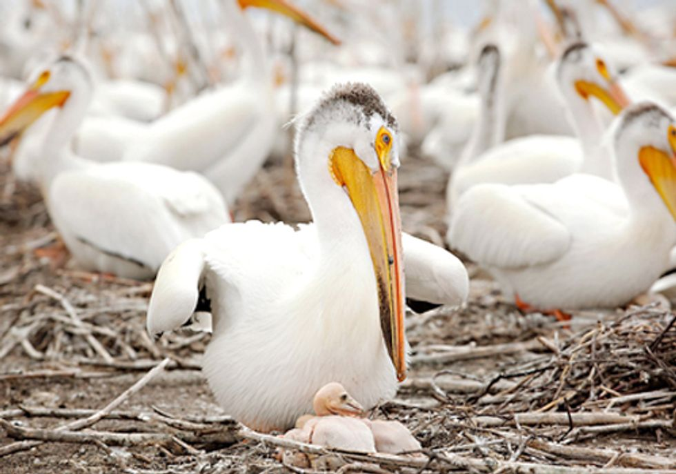 BP Spill Residue Found in Minnesota Pelican Eggs