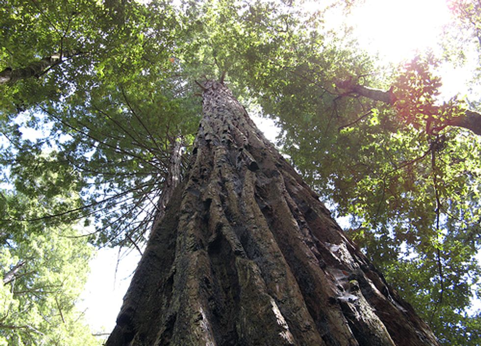 Sacrificing Redwood Trees for the Sake of Pinot Noir?