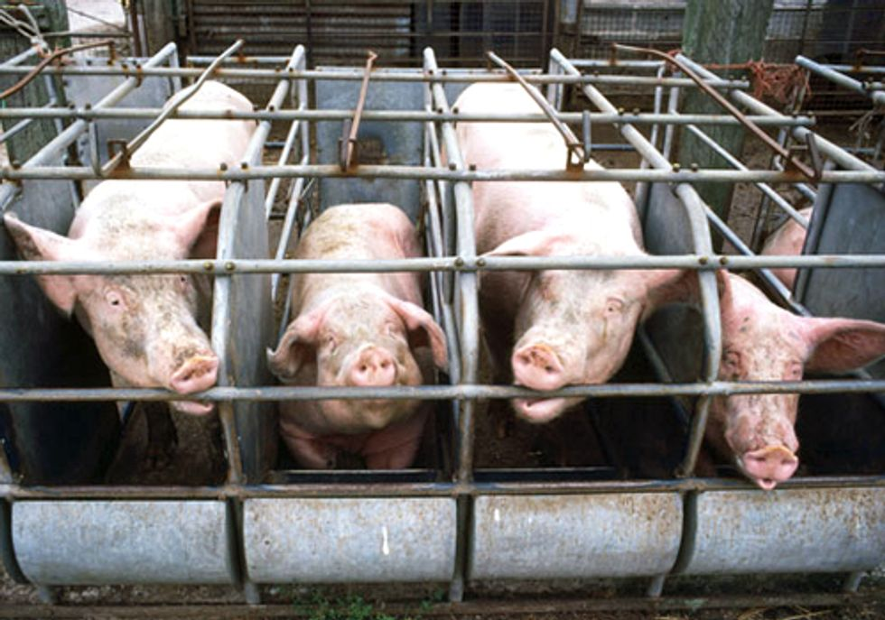 FACTORY FARMING SERIES PART II:  Bigger Isn't Better