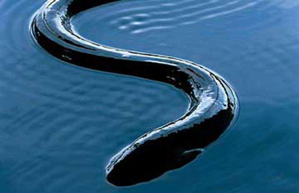 American Eel May Warrant Protection Under Endangered Species Act