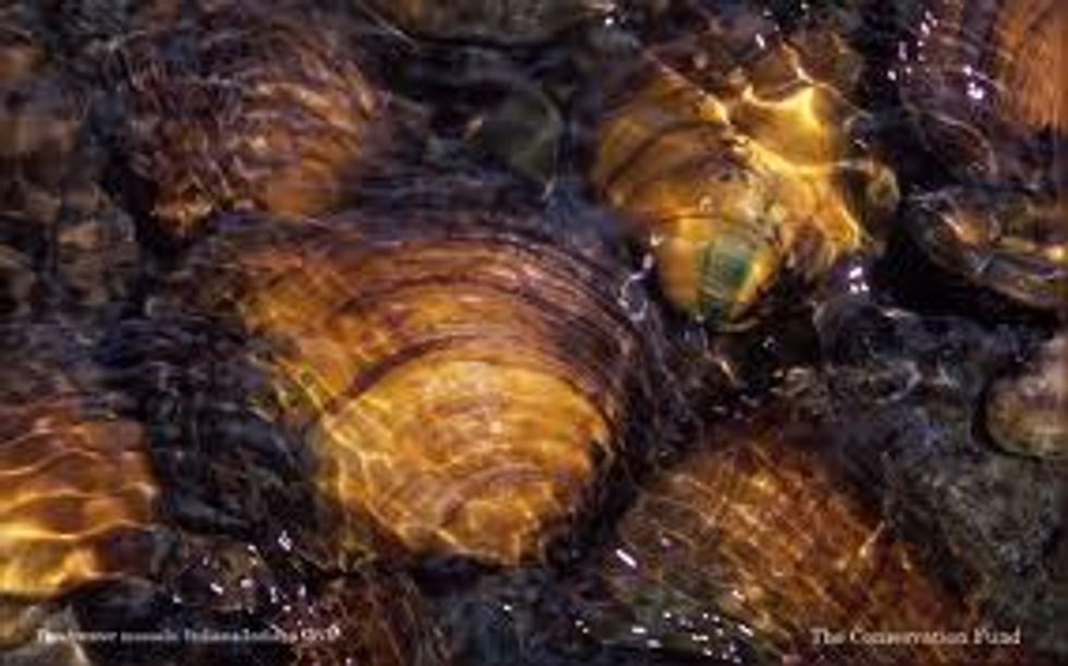 Eight Mussel Species Need Protection