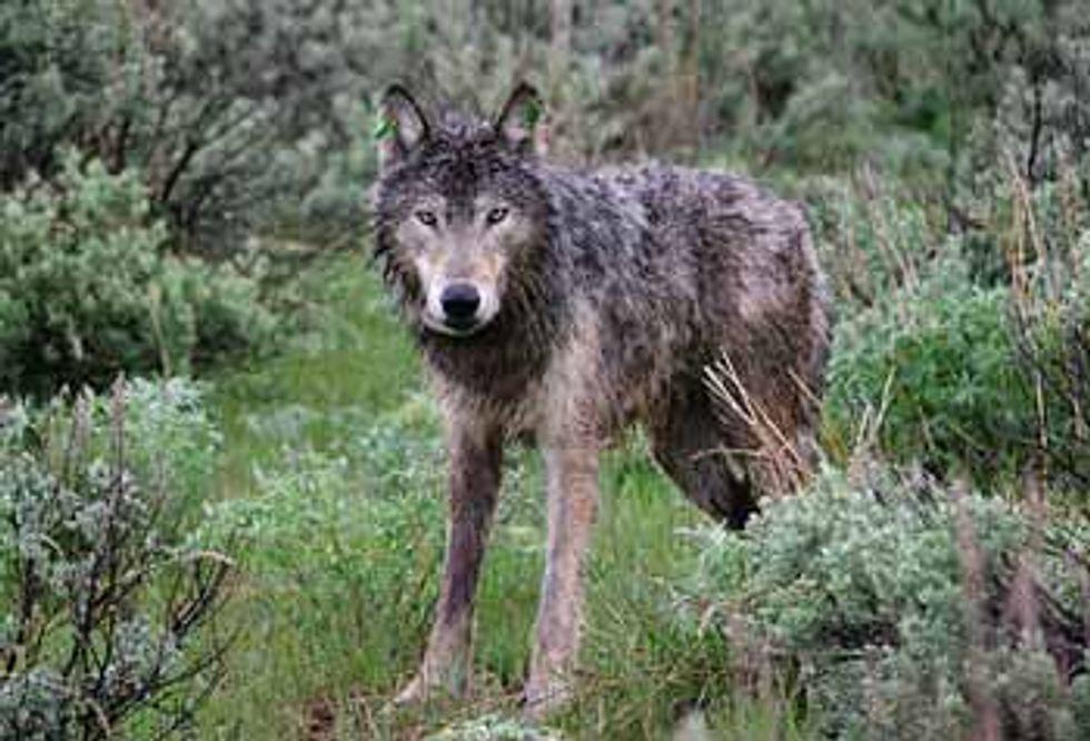 Lawsuit Filed to Stop Killing Endangered Oregon Wolves