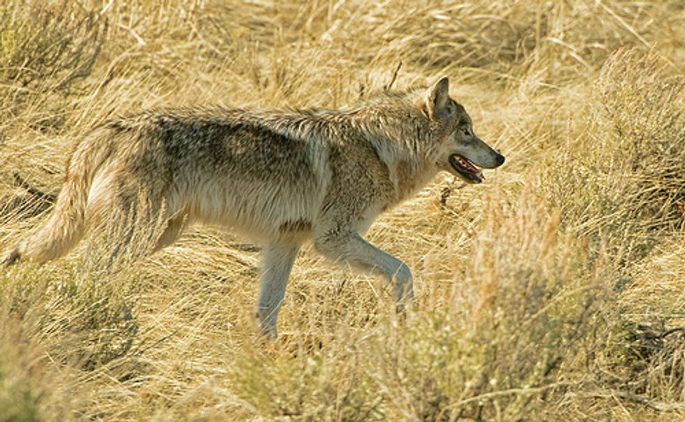 Wyoming Wolves in Peril with Potential Removal of Federal Protection