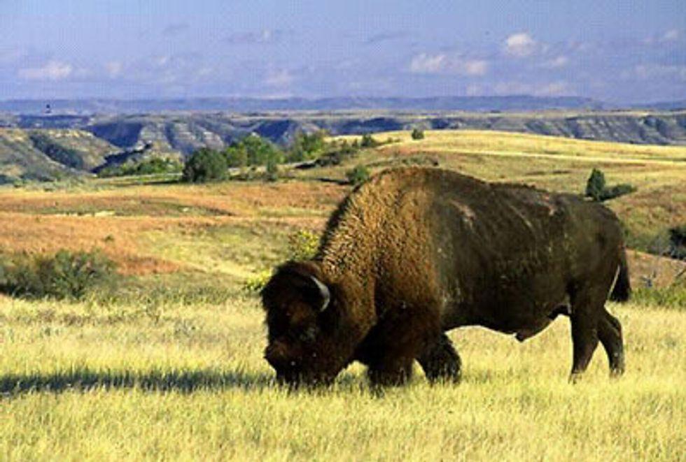 Bison Homecoming at Dunn Ranch Prairie
