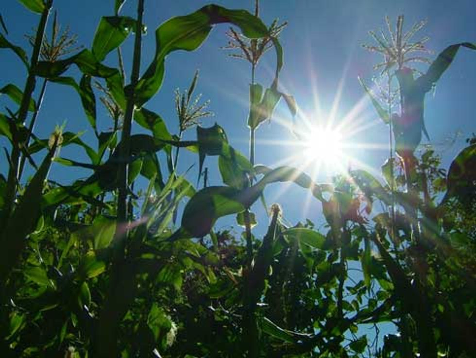 Keep Genetically Engineered Sweet Corn Off Your Plate