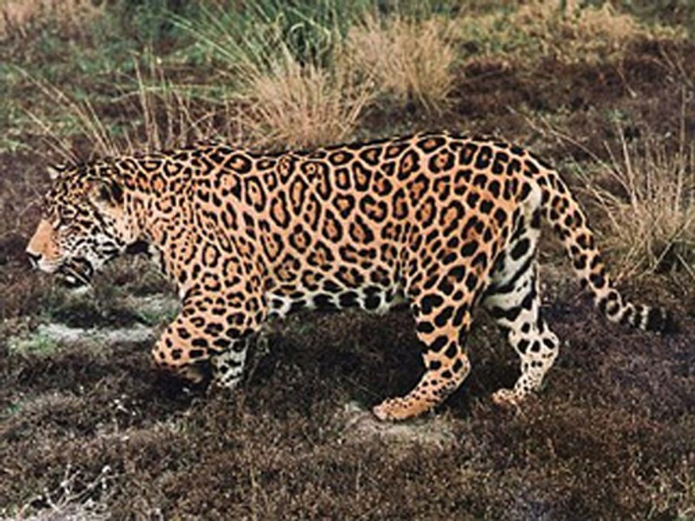 Researchers Discover Record Number of Jaguars