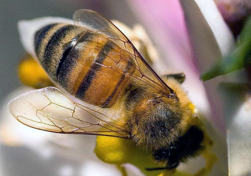 European Agency Finds Insecticide Unacceptable Danger to Bees