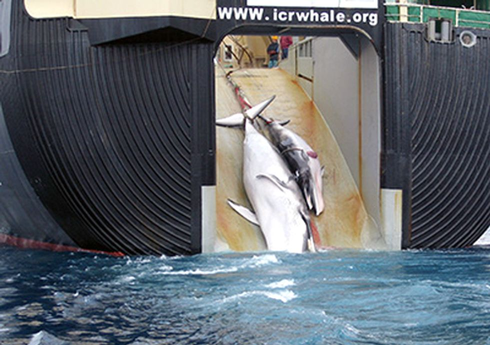 Pirates of Greed Get Away with Murder: Appeals Court Favors Japanese Whale Poachers